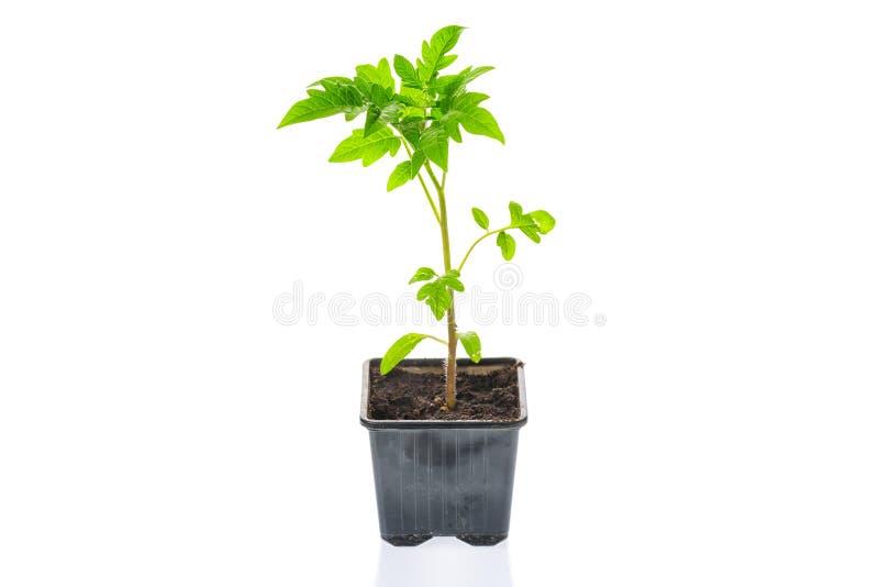 Junge Tomatensämlingsanlage in einem Topf lokalisiert auf einem weißen Hintergrund gardening Landwirtschafts- und Frühlingskonzep lizenzfreies stockfoto