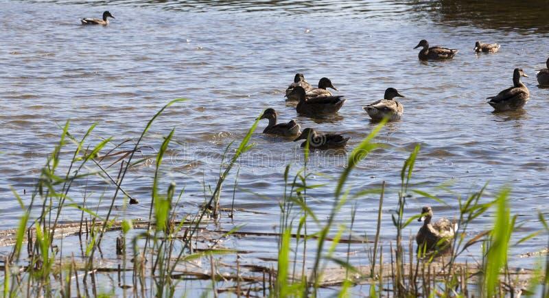 junge und alte Enten lizenzfreie stockfotografie