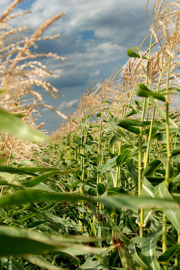 Junge Vegetation auf einem Maisfeld stockfotografie