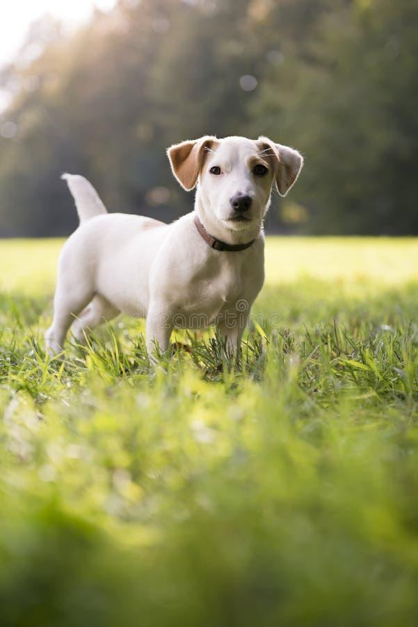 Junge Weiße Steckfassung Russell Auf Gras Im Park Stockfoto