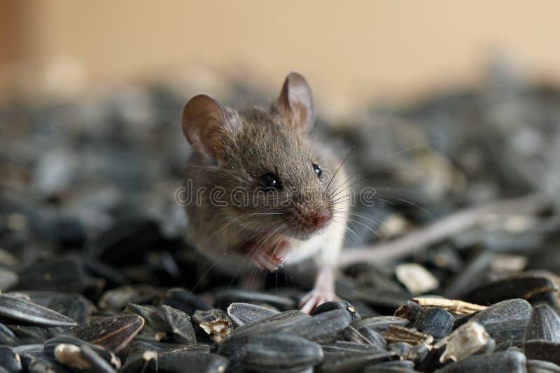 Junge wilde Maus der Nahaufnahme sitzt auf Stapel von Sonnenblumensamen, im Lager und weg in schauen stockfotografie