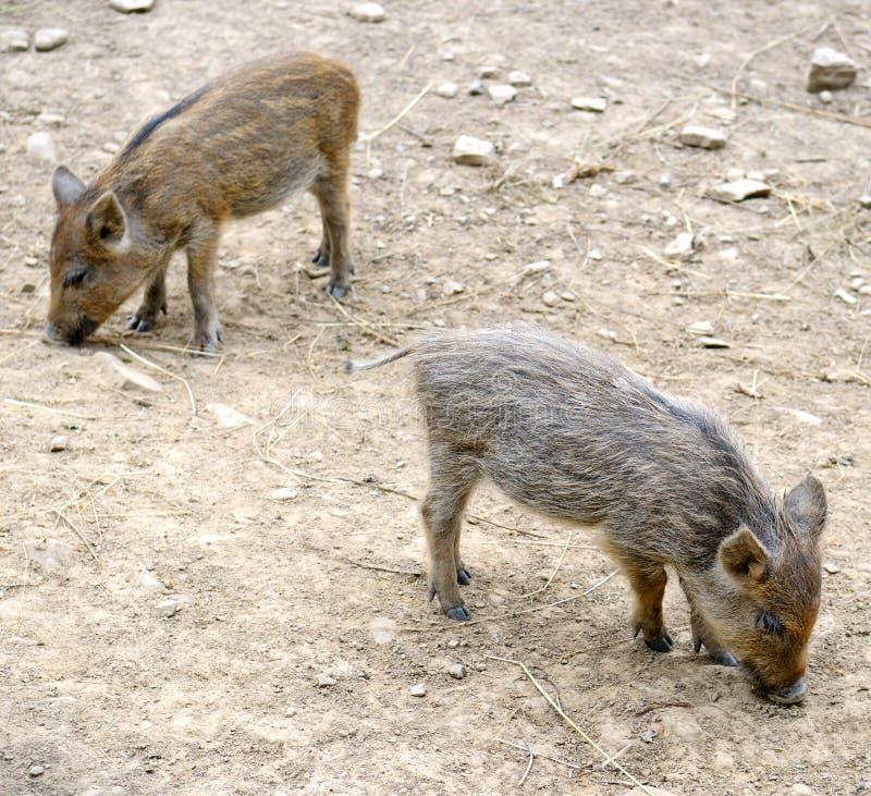 Junge wilde Schweine lizenzfreies stockfoto