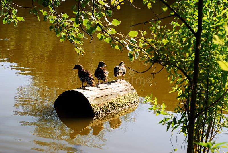 Junge Wildenten sitzen auf einem Stumpf lizenzfreies stockfoto