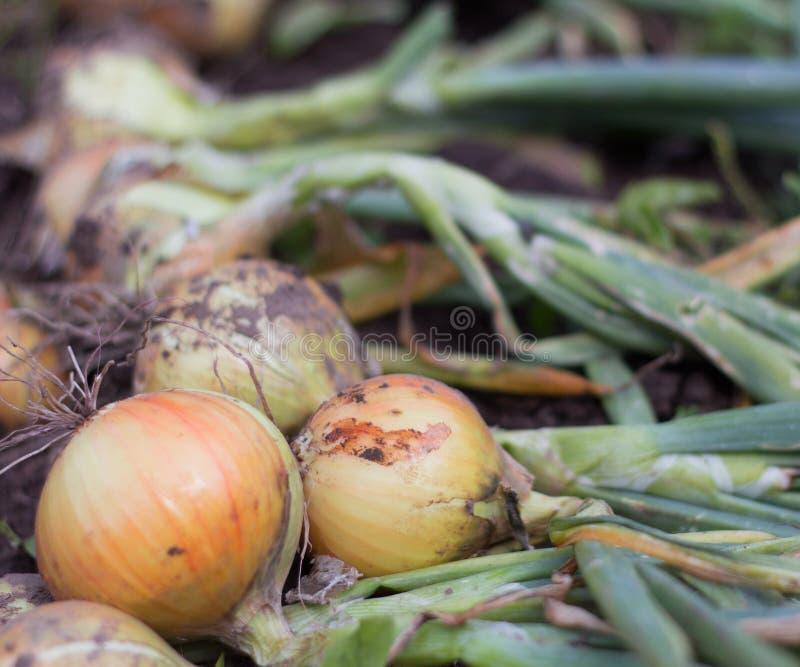 Junge Zwiebeln auf der Grund-, kürzlich geernteten, neuen Ernte stockfotografie