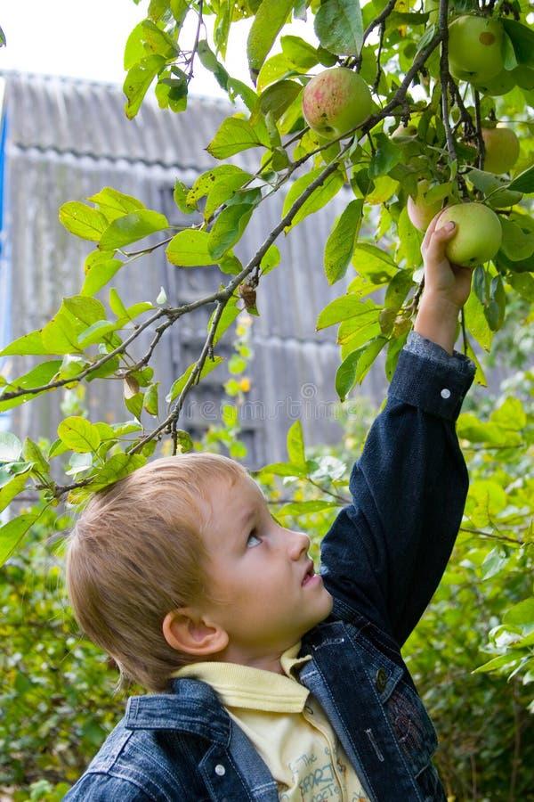 Jungenernten der Äpfel lizenzfreie stockfotos