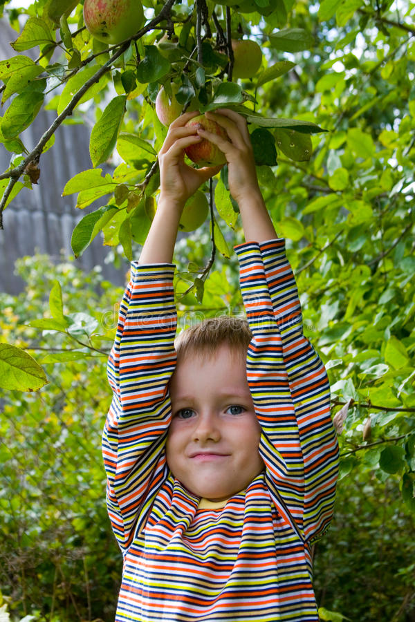 Jungenernten der Äpfel lizenzfreie stockbilder