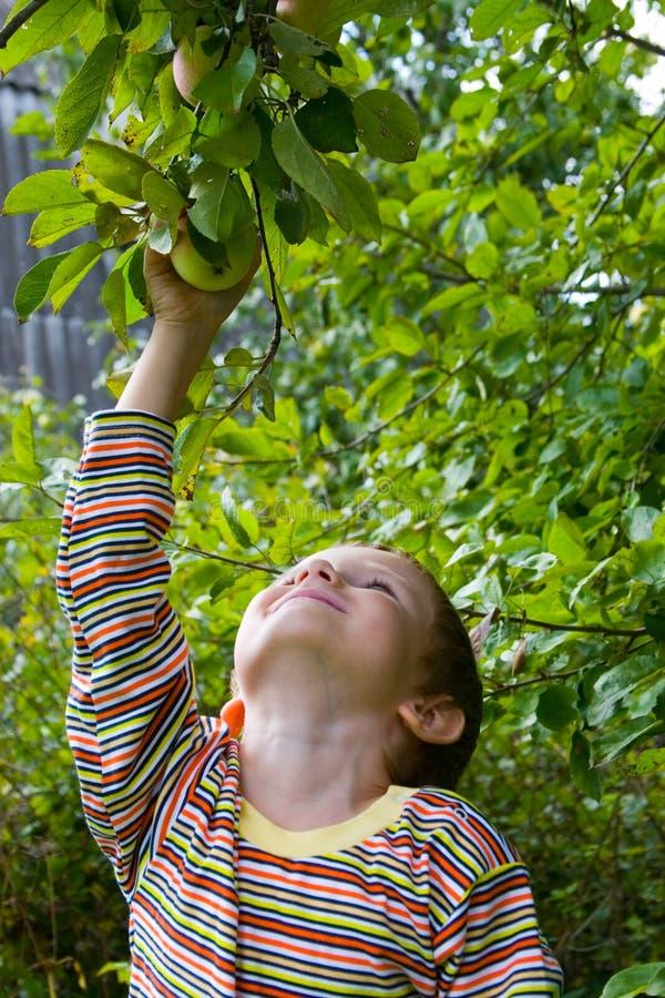 Jungenernten der Äpfel lizenzfreie stockfotografie