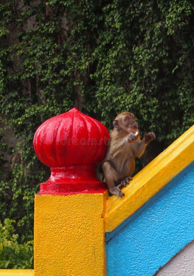 Junger Affe, der einen Apfel isst lizenzfreie stockbilder