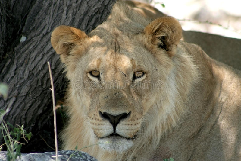 Junger afrikanischer Löwe stockfoto
