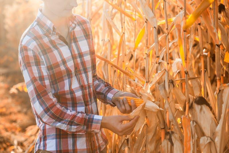 Junger Agronom überprüft die Reife der Maisernte lizenzfreie stockfotografie
