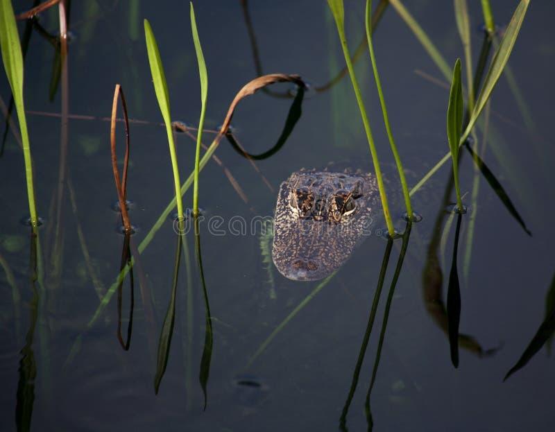 Junger Alligator, der auf dem See stillsteht Auf einem Naturhintergrund mit grünem Gras lizenzfreie stockfotos