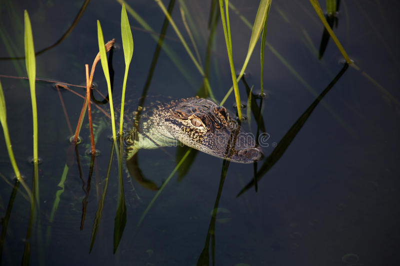 Junger Alligator, der auf dem See stillsteht Auf einem Naturhintergrund mit grünem Gras stockbild