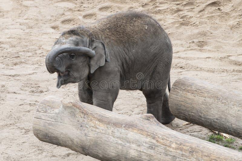 Junger asiatischer Elefant, der sein Ohr mit dem Stamm säubert lizenzfreie stockbilder