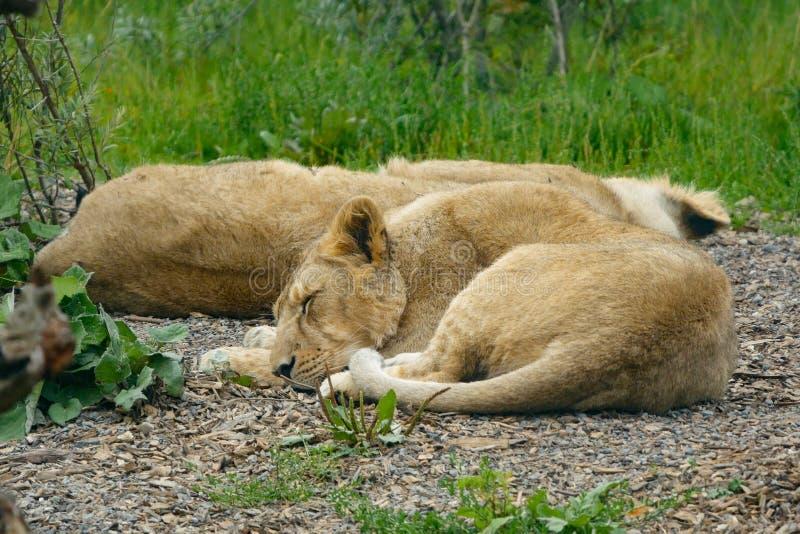 Junger asiatischer Löwe/asiatischer Lion Cub Lügen auf dem Grundschlafen stockfotos