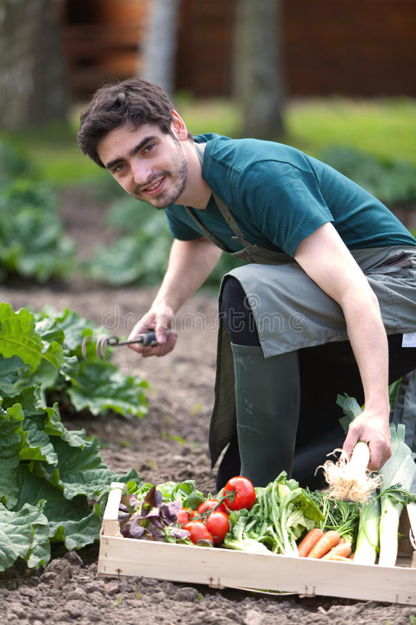 Junger attraktiver Landwirt, der Gemüse erntet stockfoto