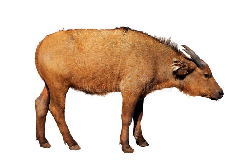 Junger Büffel stockbild