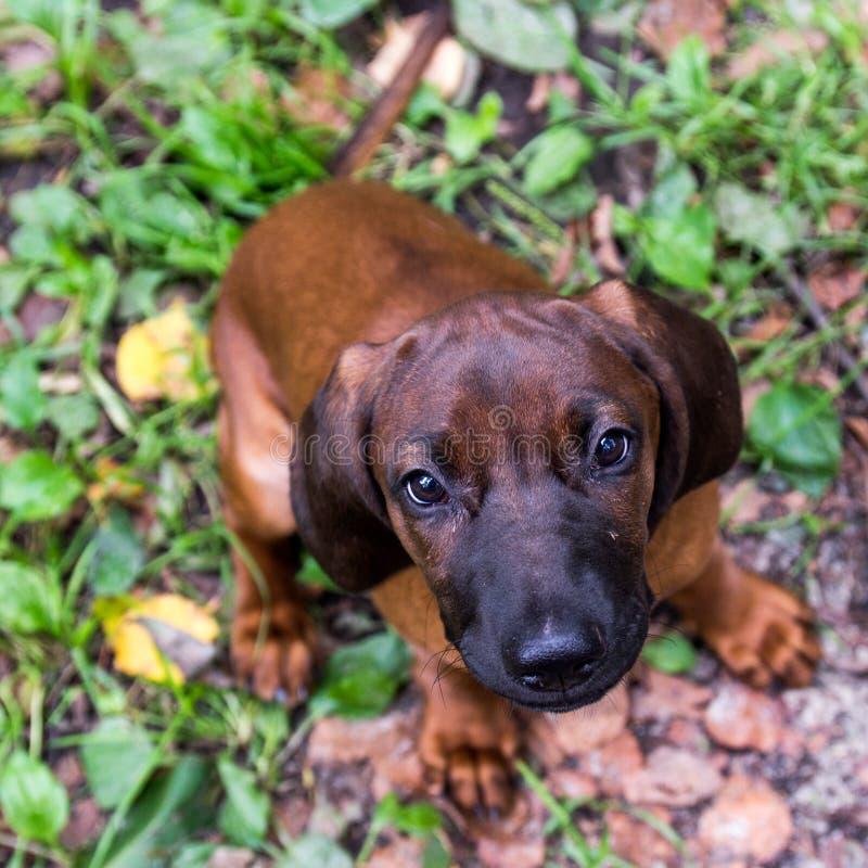 Junger bayerischer Geruchjagdhund stockfotografie