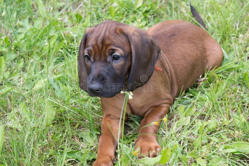 Junger bayerischer Geruchjagdhund lizenzfreies stockbild