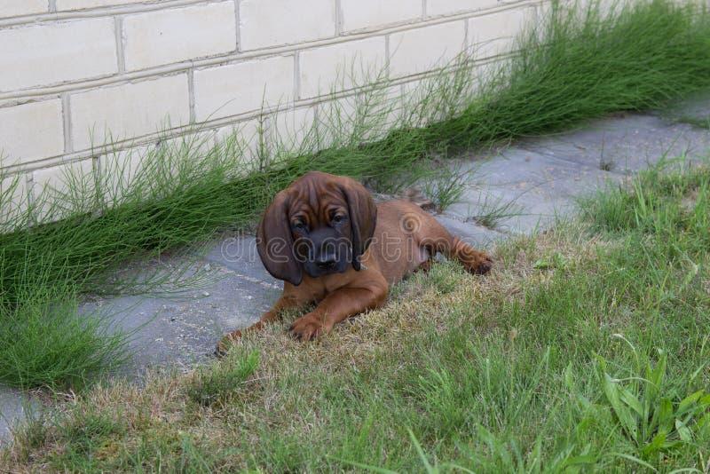 Junger bayerischer Geruchjagdhund stockfoto