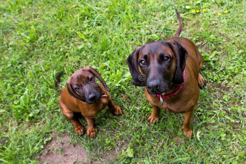 Junger bayerischer Geruchjagdhund mit Mutter lizenzfreie stockfotografie