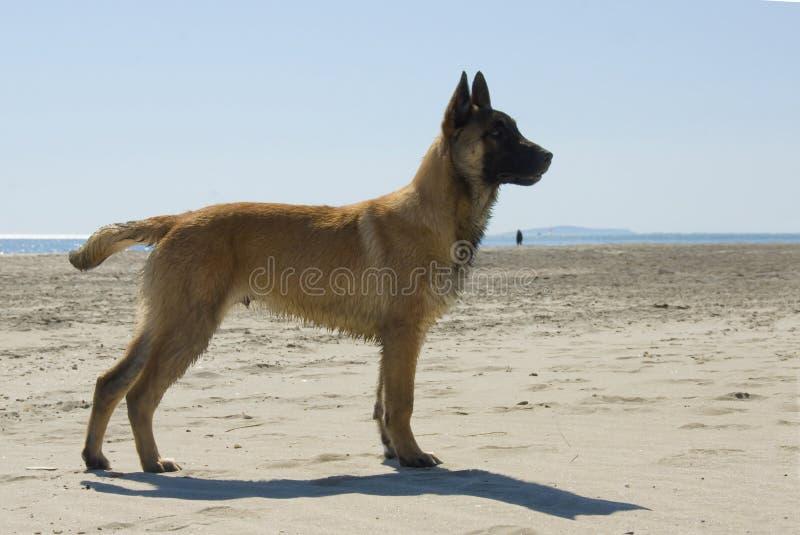 Junger belgischer Schäferhund stockbild
