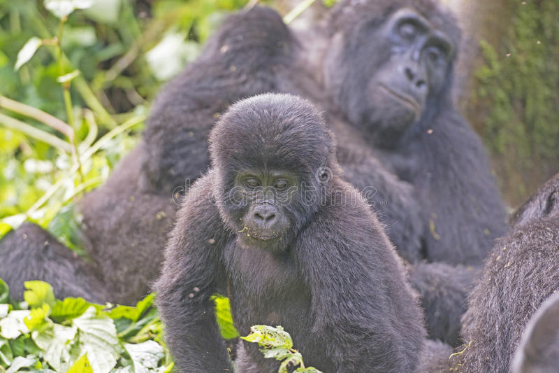 Junger Berggorilla in seiner Familien-Gruppe im Wolken-Wald stockfotografie