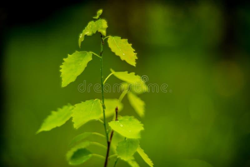 Junger Birkenbaum lizenzfreies stockbild