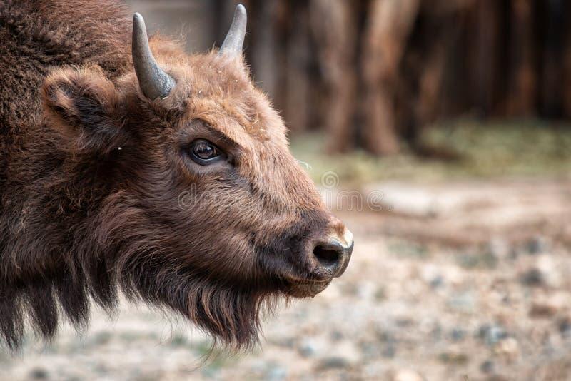 Junger Bison lizenzfreies stockbild