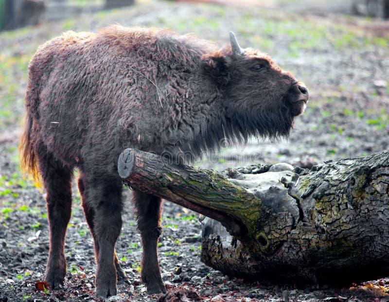 Junger Bison stockbilder