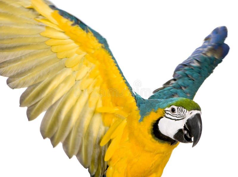 Junger Blau-und-gelber Macaw lizenzfreie stockfotografie