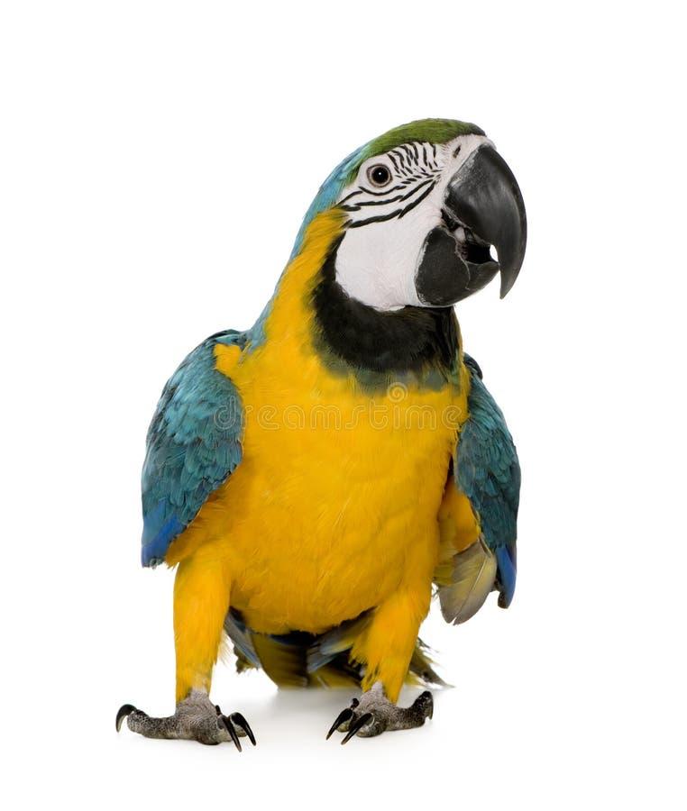 Junger Blau-und-gelber Macaw stockbild
