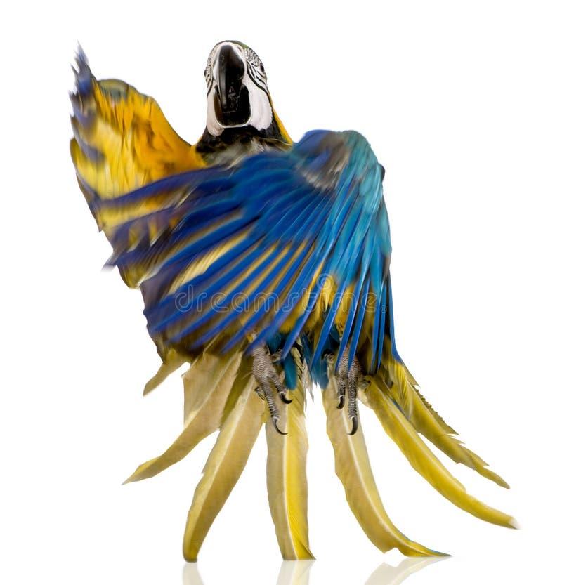 Junger Blau-und-gelber Macaw lizenzfreie stockfotos