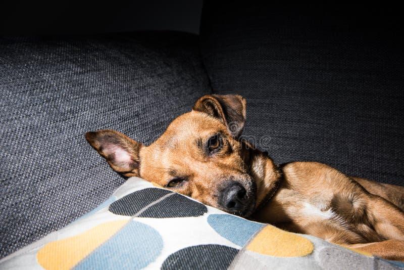 Junger brauner Hund, der auf einem Sofa schläft - nette Haustierphotographie - Rettungshund entspannt lizenzfreies stockfoto