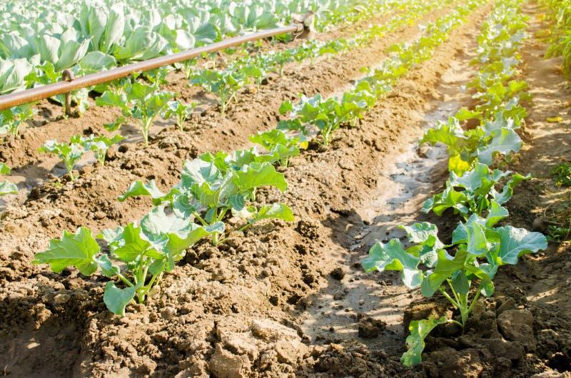 Junger Brokkoli, der auf dem Gebiet wächst neue organische Gemüselandwirtschaftslandwirtschaft Ackerland stockfotografie
