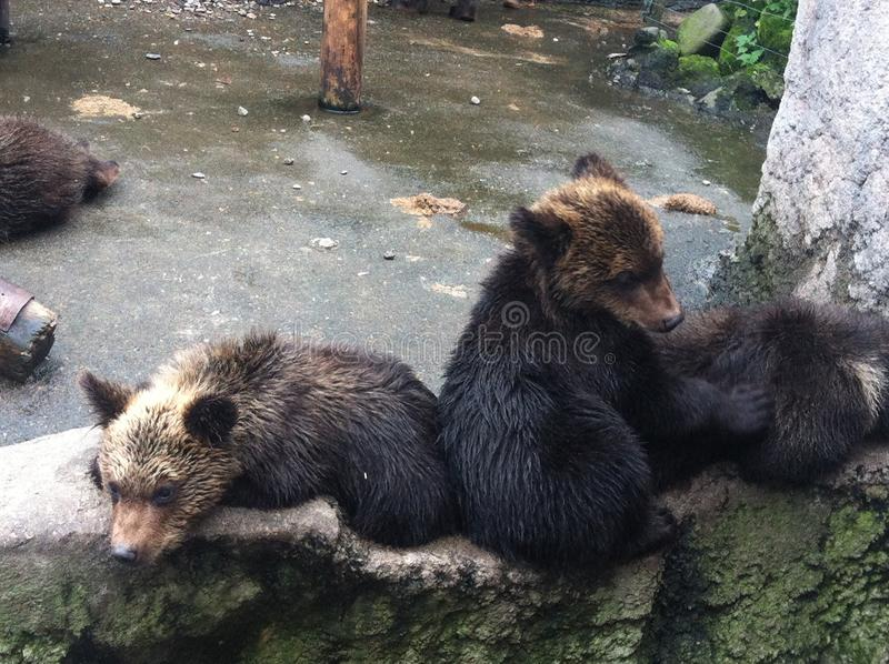 Junger Brown-Bär stockfotografie