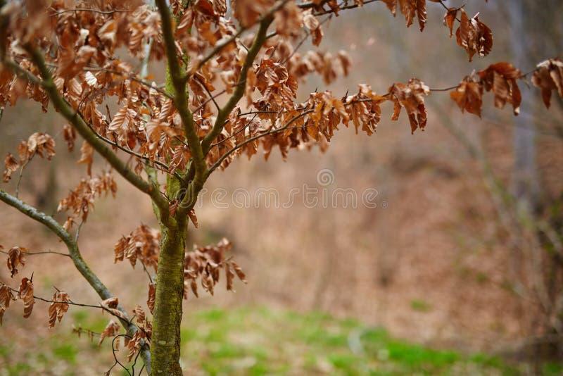 Junger Buchenbaum mit toten Blättern stockfoto
