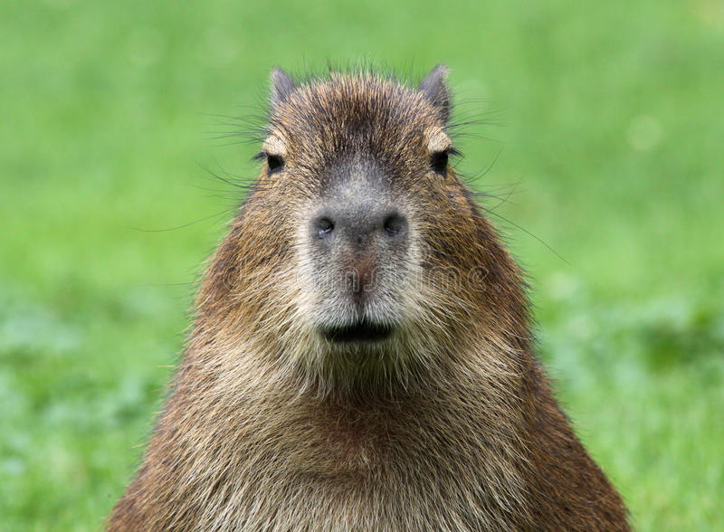 Junger Capybara stockbilder