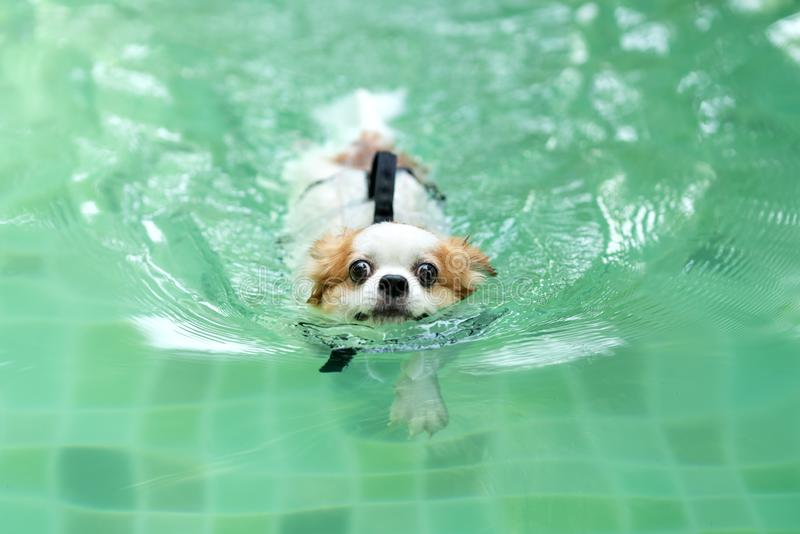 Junger Chihuahuahundetragendes Schwimmweste-Jackenschwimmen im Swimmingpool, der Kamera mit betrachtet, Freizeit am Feiertag sich lizenzfreie stockfotografie