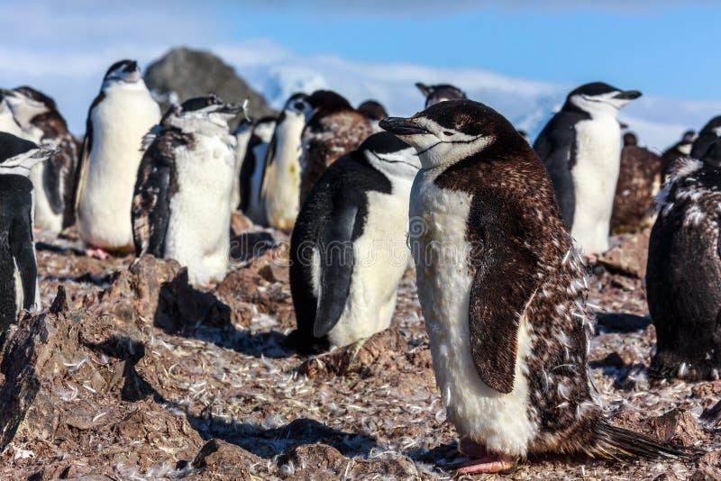 Junger chinstrap Pinguin, der unter seinen Kolonienmitgliedern steht, erfassen lizenzfreies stockfoto