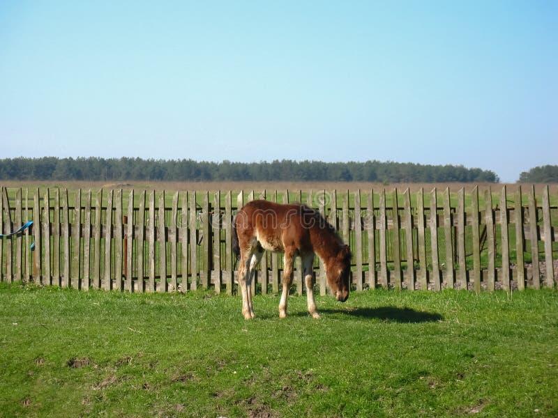Junger Colt im Bauernhof stockfotos