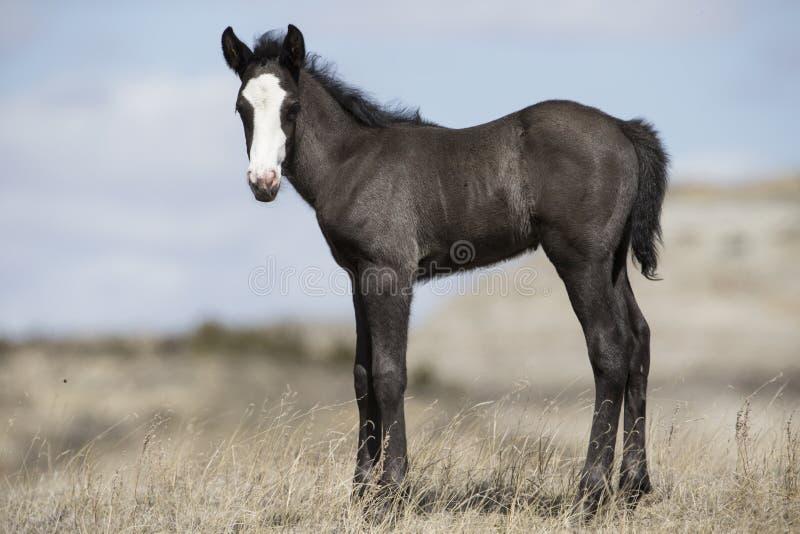 Junger Colt in Roosevelt National Park lizenzfreies stockfoto
