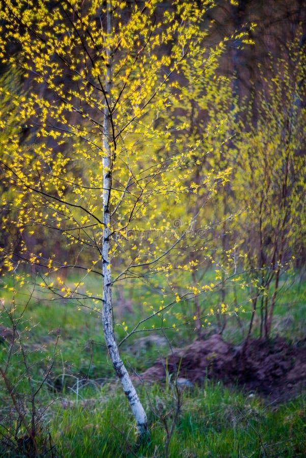 Junger dünner Baum der Birke stockbild
