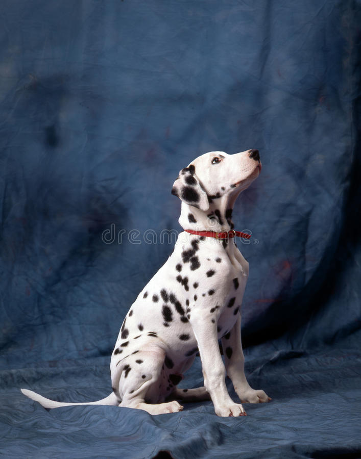 Junger Dalmatiner Lizenzfreie Stockfotos