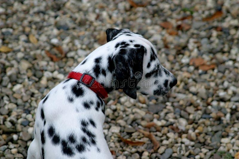 Junger dalmatinischer Hund (Welpe) lizenzfreie stockfotos
