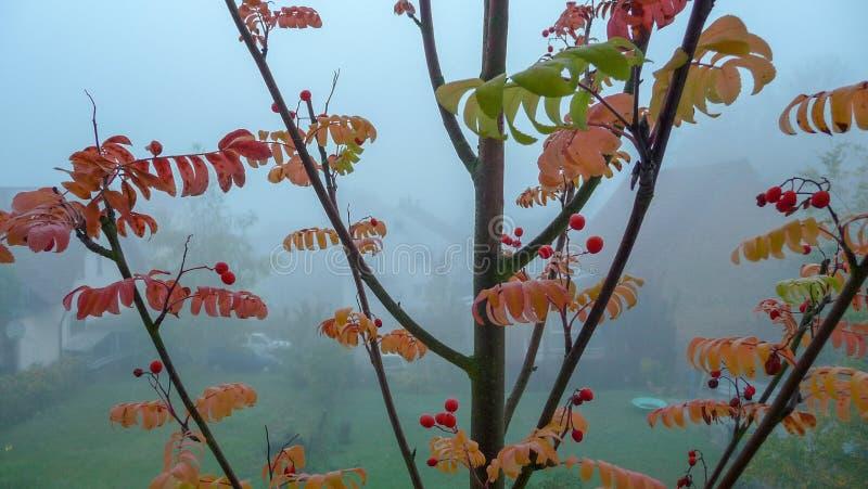 Junger Ebereschenbaum im Fall stockfoto