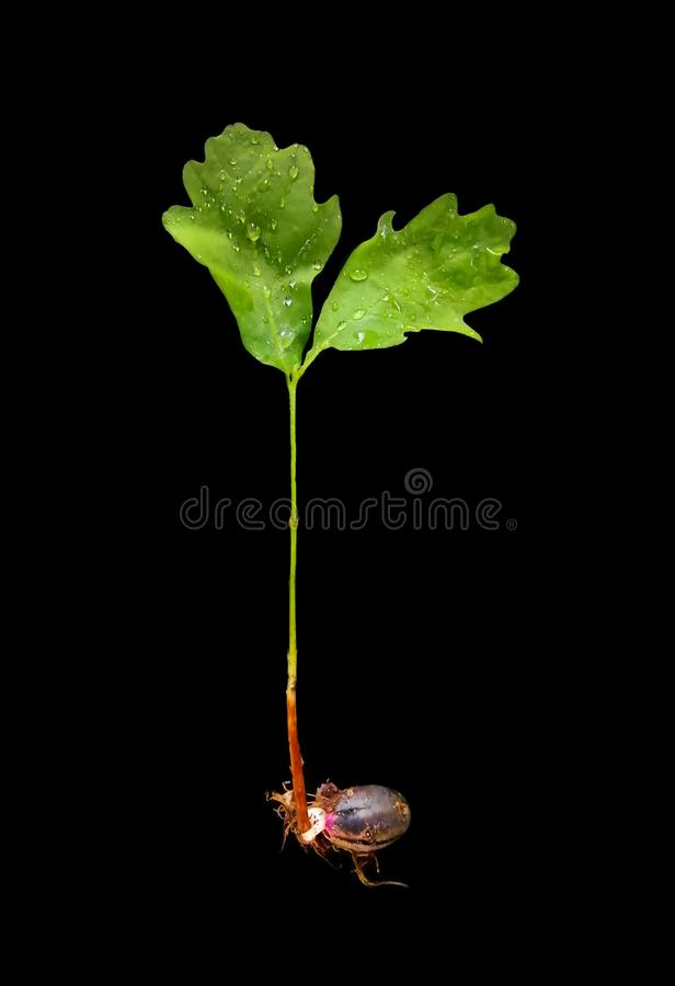 Junger Eichensprössling, grüne Blätter, Struktur eines Baums, keimte von einer Eichel Das Konzept eines neuen, starken Lebens lizenzfreies stockbild