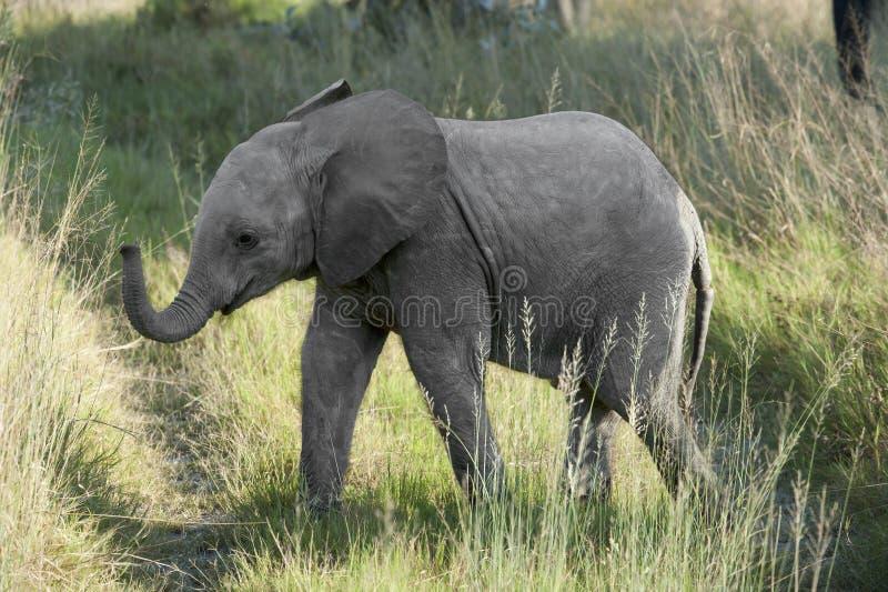 Junger Elefant stockbilder