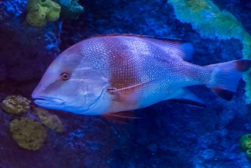 Junger erwachsener roter Kaiserrotbarsch ein tropischer Aquariumfisch vom Pazifischen Ozean lizenzfreie stockbilder
