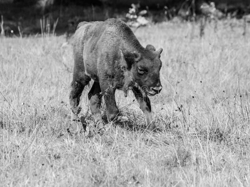 Junger europäischer hölzerner Bison in Urwald Bialowieza lizenzfreie stockfotografie