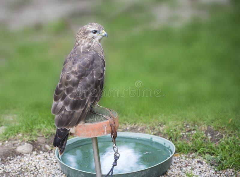 Junger Falke in der Gefangenschaft im Zoo am Sommertag stockfoto